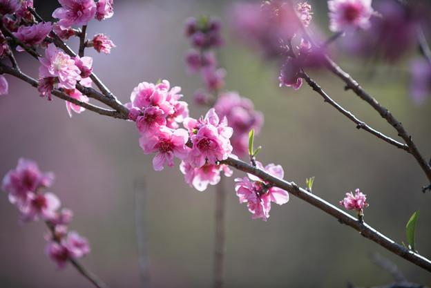 神代植物公園【ハナモモ:矢口】