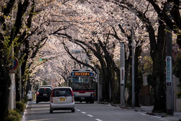 【あざみ野二丁目の桜並木】