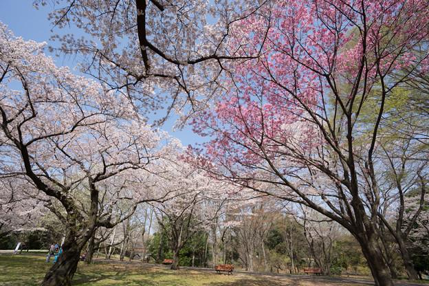 昭和記念公園【桜の園】5