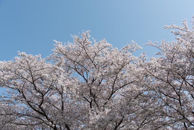 昭和記念公園【桜の園】7