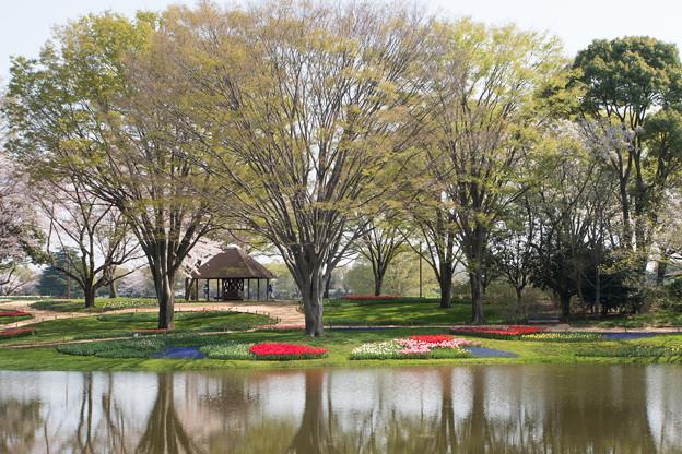 昭和記念公園【渓流広場のチューリップ】1