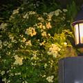 庭の花【モッコウバラ】