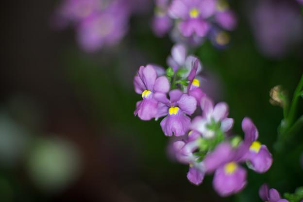 庭の花【ネメシア】