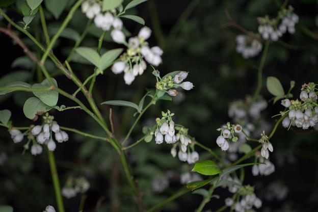 写真: 庭の花【ブルーベリー】1