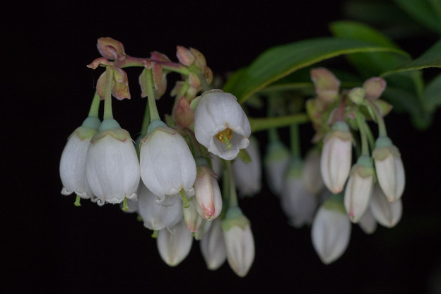 庭の花【ブルーベリー】3