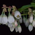 写真: 庭の花【ブルーベリー】3