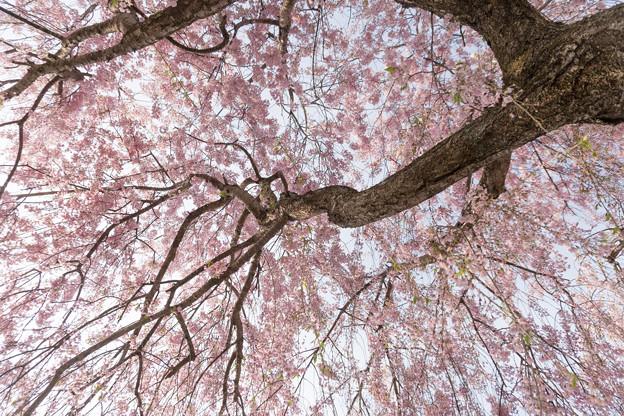 東北お花見ツアー【日中線しだれ桜並木】5