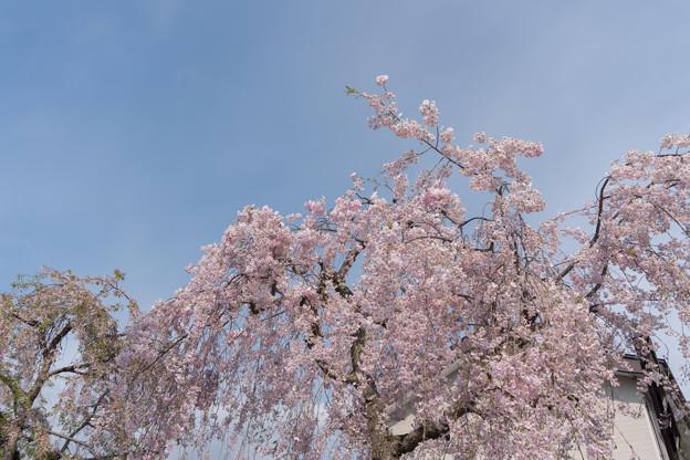 東北お花見ツアー【日中線しだれ桜並木】6