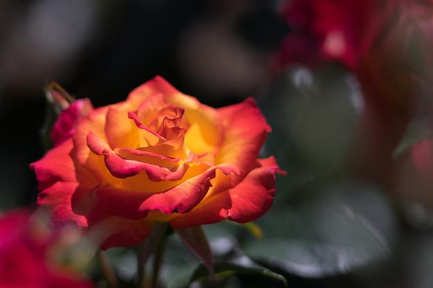 大船フラワーセンター【薔薇:チャールストン】2