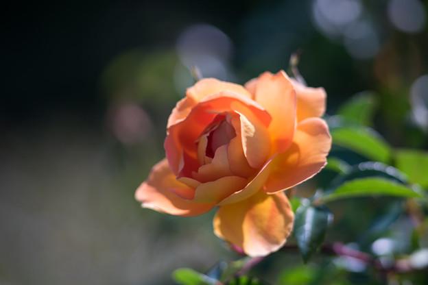 大船フラワーセンター【薔薇:パット・オースチン 】