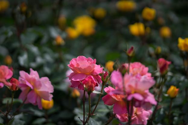 神代植物公園【バラ:ファンファーレ】1
