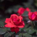 神代植物公園【バラ:フィデリオ】1
