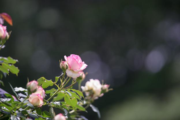 神代植物公園【バラ:ピエール・ドゥ・ロンサール】2