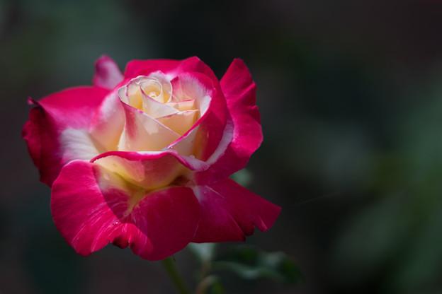 神代植物公園【バラ:ダブル・ディライト】