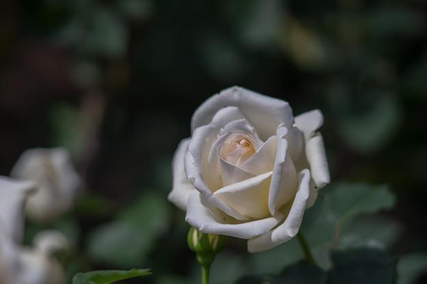 神代植物公園【バラ:ホワイト・クリスマス】