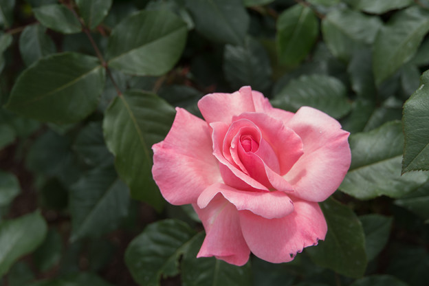 神代植物公園【バラ:クイーン・エリザベス】
