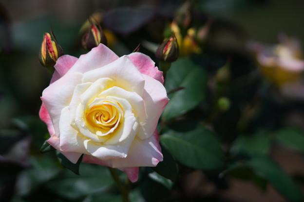 神代植物公園【バラ:_1992年度入賞花】