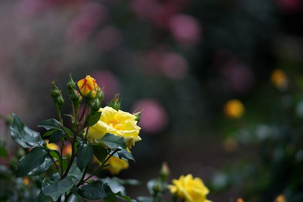 神代植物公園【バラ:ドクター・ファウスト】1