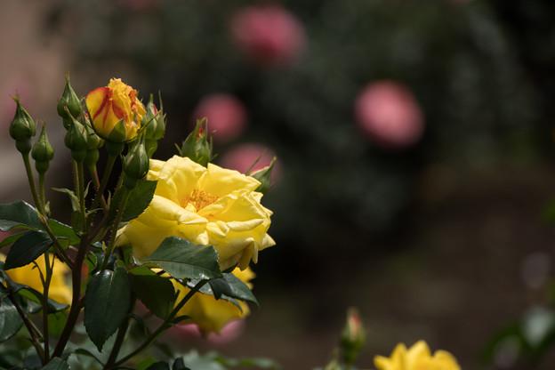 神代植物公園【バラ:ドクター・ファウスト】2