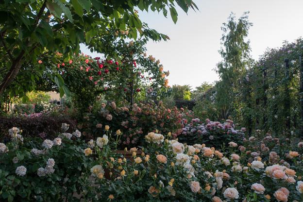 YEG【バラ園の景色】1-4