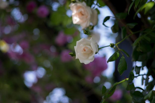 YEG【バラ園のアーチ】2-5