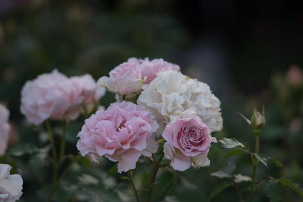 YEG【バラ:ラ・マリエ】1