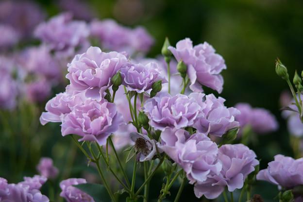 YEG【バラ:紫の園】1
