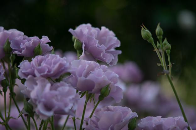 YEG【バラ:紫の園】4