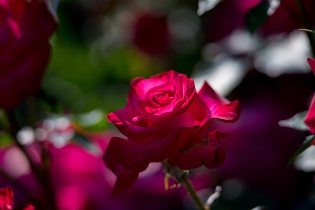 YEG【バラ:紅】1