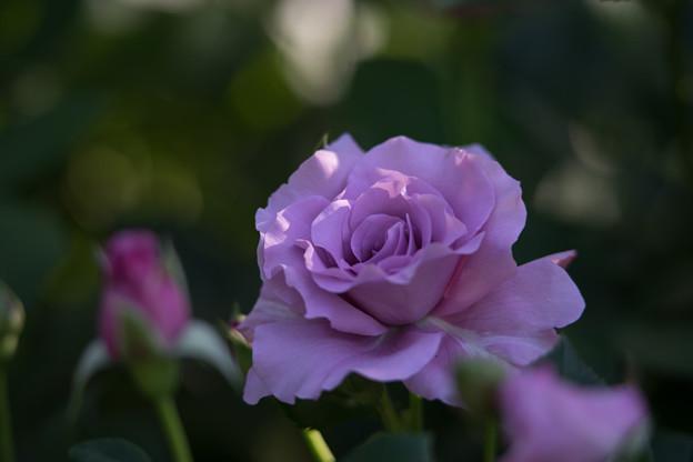 YEG【バラ:若紫】