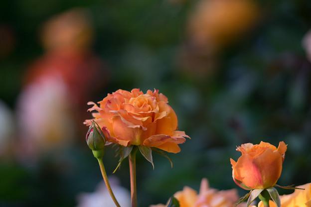 Photos: YEG【バラ:クイーン・バガテル】