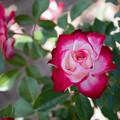 花菜ガーデン【バラ:ジュビレ・デュ・プリンス・ドゥ・モナコ】4