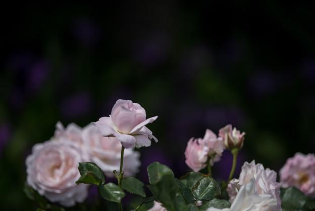 花菜ガーデン【バラ:花ぼんぼり】1