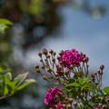 Photos: 花菜ガーデン【バラ:ケイコズ・ドリーム】4