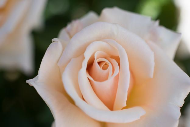 花菜ガーデン【バラ:ダイヤモンド・ジュピリー】2