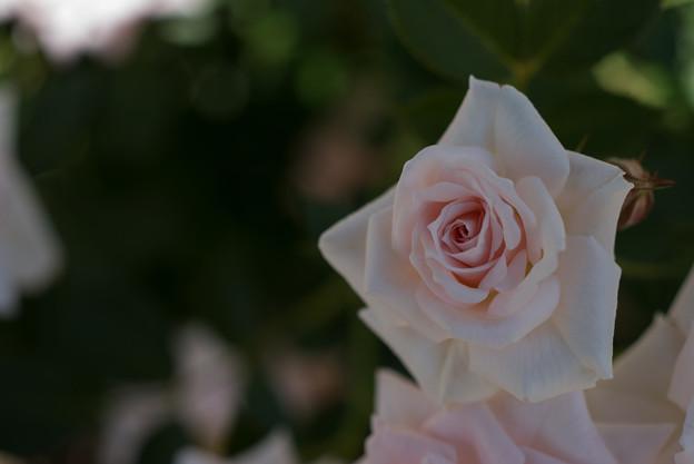 花菜ガーデン【バラ:ドリーム・ラバー】2
