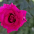 花菜ガーデン【バラ:パンセ】