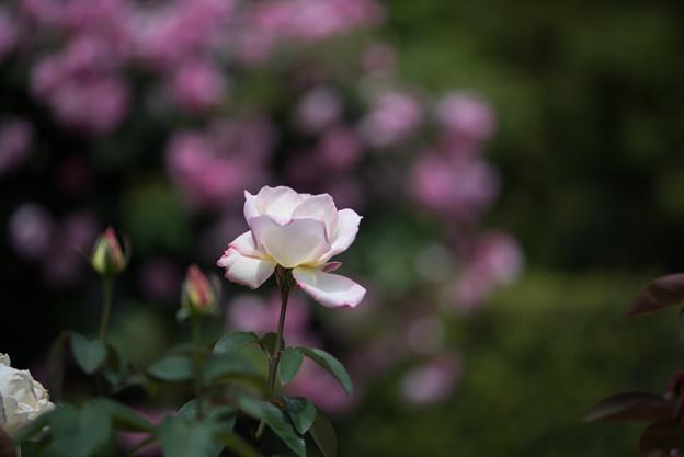 花菜ガーデン【バラ:ガーデン・パーティ】1