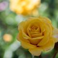 花菜ガーデン【バラ:ストラボ・バビロン】