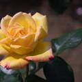 花菜ガーデン【バラ:ピース】1