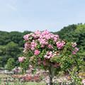 Photos: 生田緑地ばら苑【バラ:つる・ピンキー】1