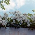 写真: 生田緑地ばら苑【バラ:キフツゲート】銀塩