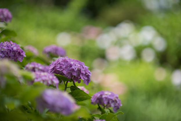 正覚寺【紫陽花】1-2