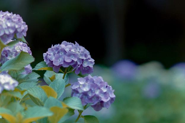 正覚寺【紫陽花】1-3銀塩