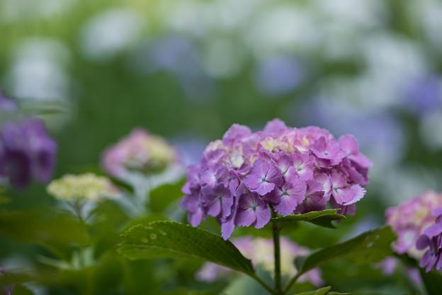 正覚寺【紫陽花】1-5