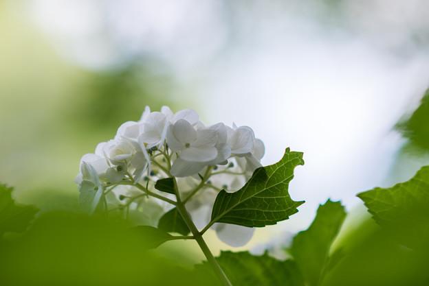 正覚寺【紫陽花】2-2