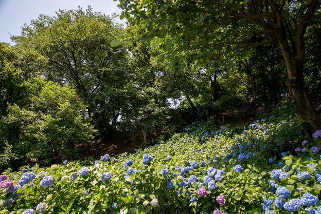 薬師池公園【えびね苑の紫陽花】2