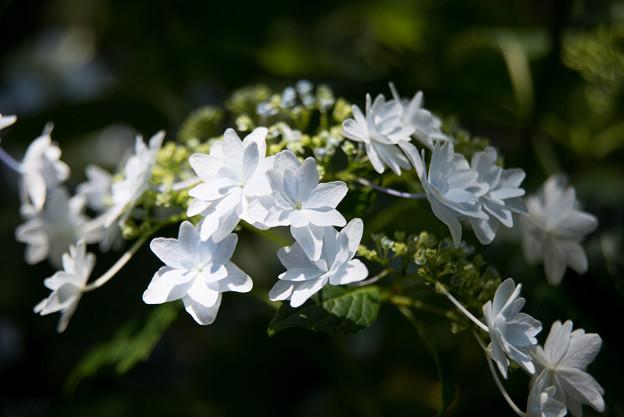 薬師池公園【紫陽花:スミダノハナビ】6