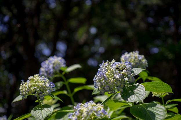 薬師池公園【紫陽花:ウズアジサイ】4