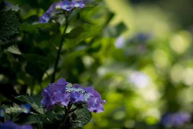 薬師池公園【紫陽花:ブルースカイ】1
